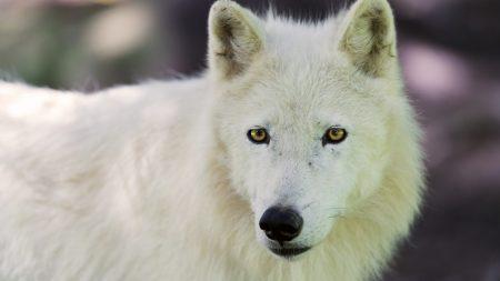 arctic wolf, dog, muzzle