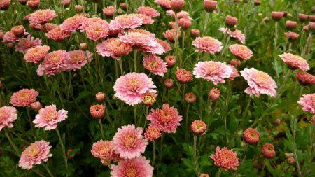 aster, flowers, flowerbed