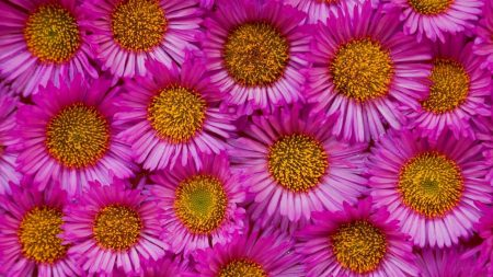 asters, flowers, buds