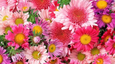 asters, flowers, many