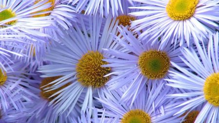 asters, flowers, pollen