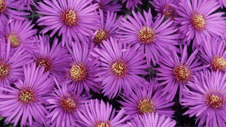 asters, flowers, purple