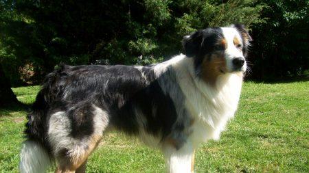 australian shepherd, dog, grass