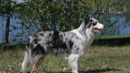 australian shepherd, walk, color