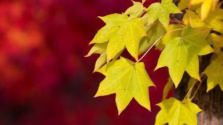autumn, macro, red