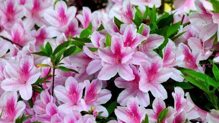 azalea, bloom, bright
