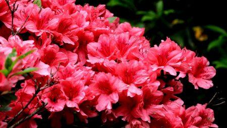 azalea, flowering, branches