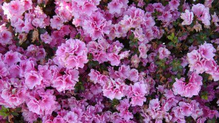 azalea, flowering, bushes