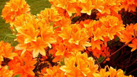 azalea, flowering, orange