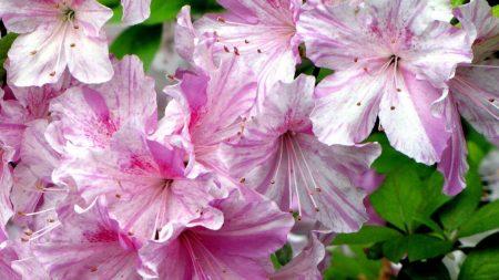 azalea, flowering, pink