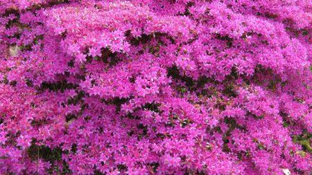 azalea, flowering, shrubs