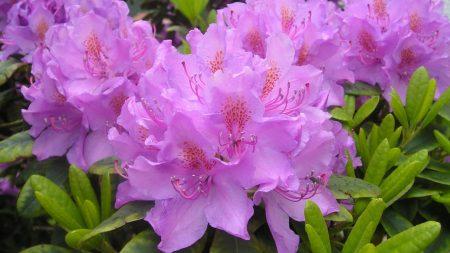 azalea, lilac, green
