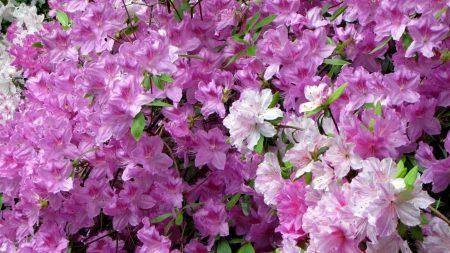 azaleas, bloom, beauty