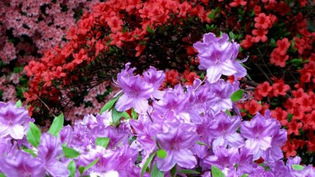 azaleas, flowering, colorful