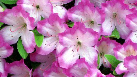 azaleas, flowering, soft