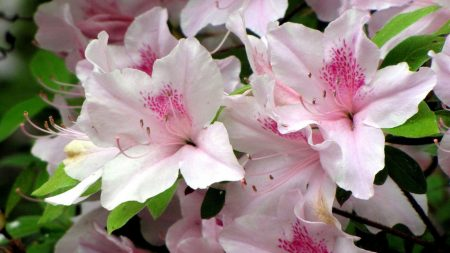 azaleas, flowering, stamen