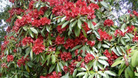 azaleas, flowers, red