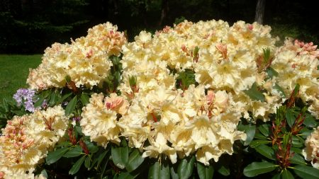 azaleas, flowers, shrubs