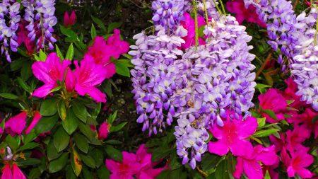 azaleas, wisteria, colorful