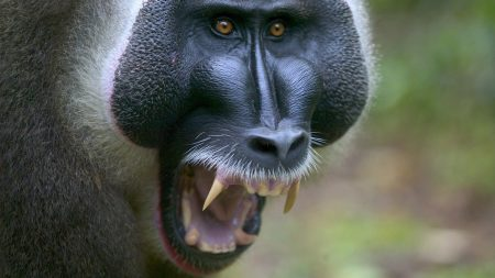 baboon, monkey, aggression