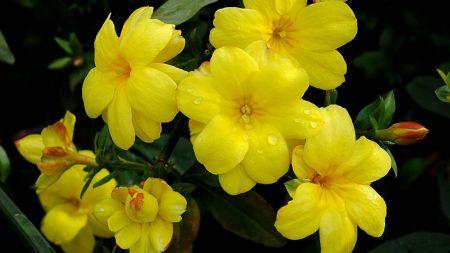 balsams, yellow, flowers