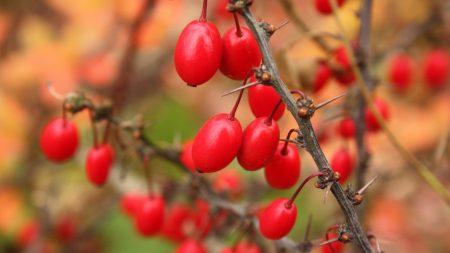 barberry, berries, branch