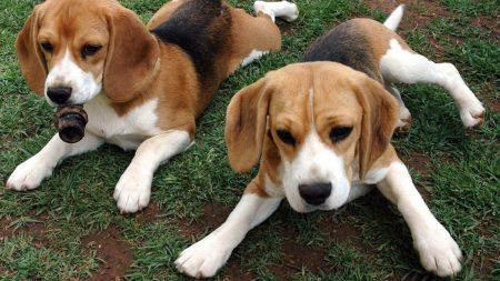 beagle, puppies, dog