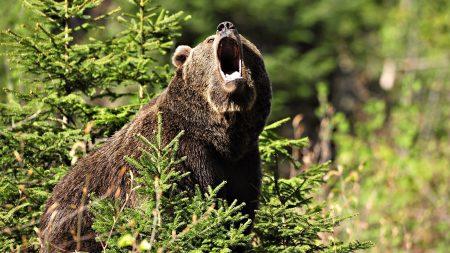 bear, angry, grass