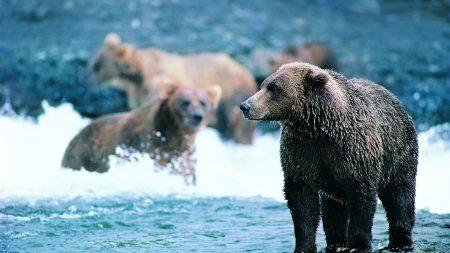 bear, brown, sea
