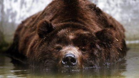 bear, brown, swimming