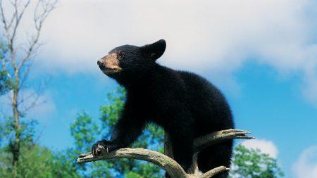 bear, cub, baribal