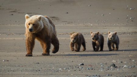 bear, cub, walk