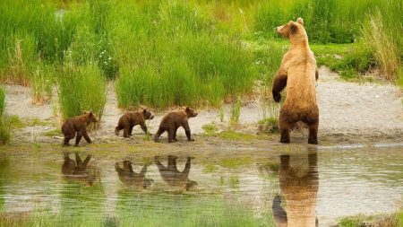 bear, cubs, walk