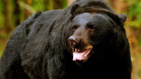 bear, face, eyes