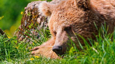 bear, face, tired