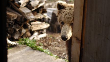 bear, muzzle, looking out