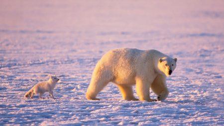 bear, polar, animal