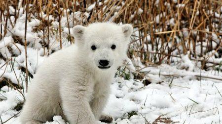 bear, polar bear, cub
