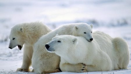 bear, polar bear, family