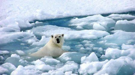 bear, polar bear, ice