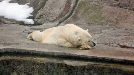 bear, polar bear, nature reserve