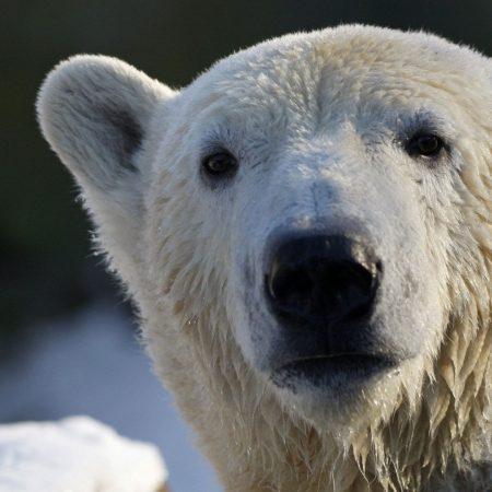 bear, polar bear, snout