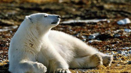 bear, polar bear, snow