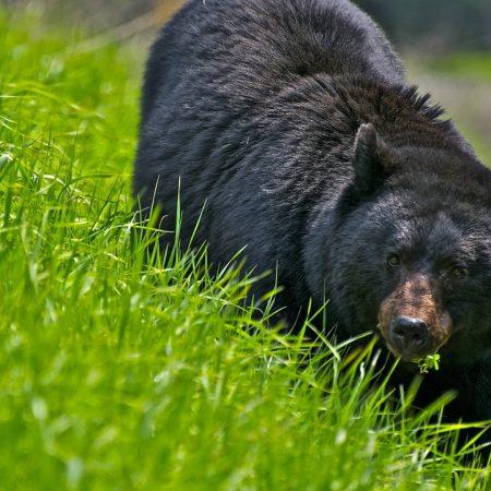 bear, walk, brown