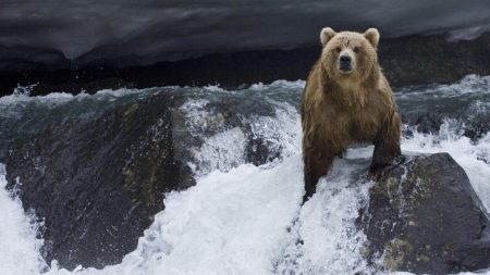 bear, water, current