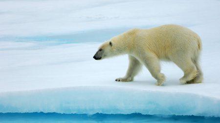bear, white, glacier