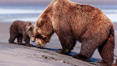 bears, brown, couple
