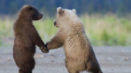 bears, couple, cubs