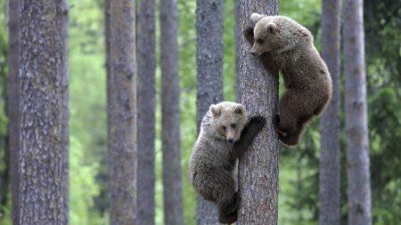bears, couple, tree