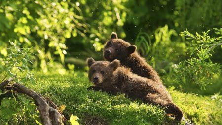 bears, cubs, couple